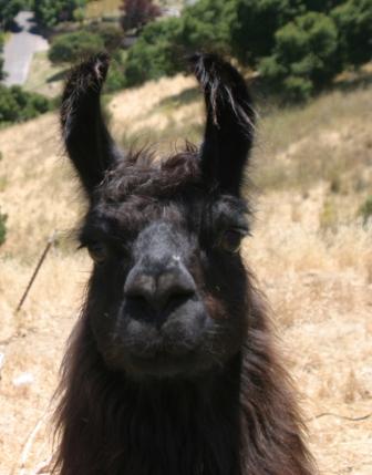 Good Maurice, The Badd Llama